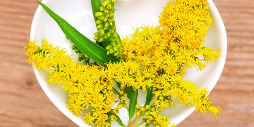 Solidago : l'homéopathie contre la rétention d'eau